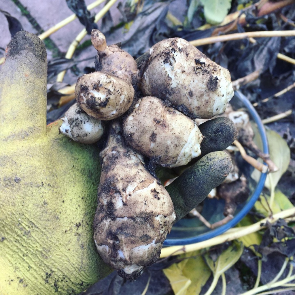 One knobbly large tuber